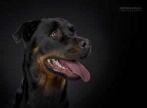 lana-rottweiler-hondenherplaatsing-ndjoy-hulp-honden-baasjes