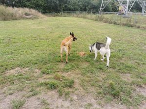 angel-mechelse-herder-hondenherplaatsing-ndjoy (1)