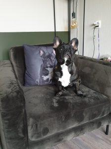 fransje-herplaatsing-franse-bulldog-ndjoy-hondenherplaatsing