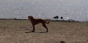 sienna-hondenadoptie-ndjoy-hondenherplaatsing-foto3