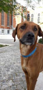 sienna-hondenadoptie-ndjoy-hondenherplaatsing-volwassen-hond